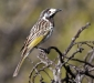 White-fronted Honeyeater # 2