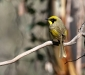 Yellow-tufted Honeyeater # 3