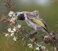 White-fronted Honeyeater # 3