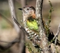 Shining Bronze-cuckoo # 4