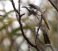 White-fronted Honeyeater # 4