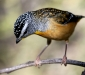 Spotted Pardalote # 5