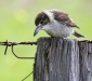 Grey Butcherbird # 2