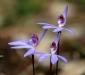 Blue Caladenia Orchid