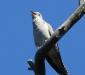 Pallid Cuckoo # 2