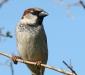 House Sparrow # 2