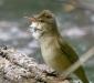 Clamorous Reed-warbler # 2