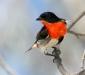 Mistletoebird # 2