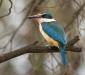 Sacred Kingfisher # 2