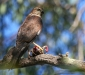 Collared Sparrowhawk with prey