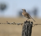Brown Songlark # 3