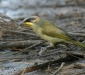 Purple-gaped Honeyeater