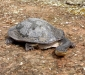 Broad-shelled Turtle # 2