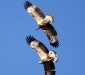 White-bellied Sea-Eagles