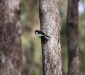 Restless Flycatcher # 3