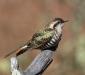 Horsfield's Bronze-Cuckoo # 2