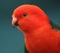 Australian King-Parrot # 2