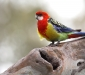 Eastern Rosella at nesting hollow