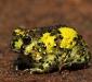 Crucifix Toad