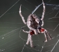 Garden Orb Weaving Spider # 2