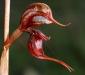Rusty Hood Orchid