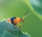 Backyard Beetle