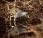 Australian Spotted Crake
