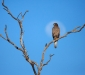 Brown Goshawk & the moon