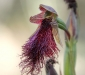 Purplish Beard Orchid