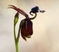 Large Duck Orchid