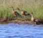 Plumed Whistling-Duck