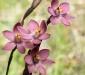 Salmon Sun Orchids