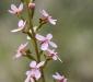 Grass Trigger-plant