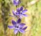 Sun-Orchid