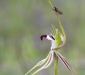 Spider Orchid and Fly