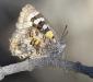 Amaryllis Azure Butterfly