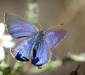 Blotched Blue Butterfly